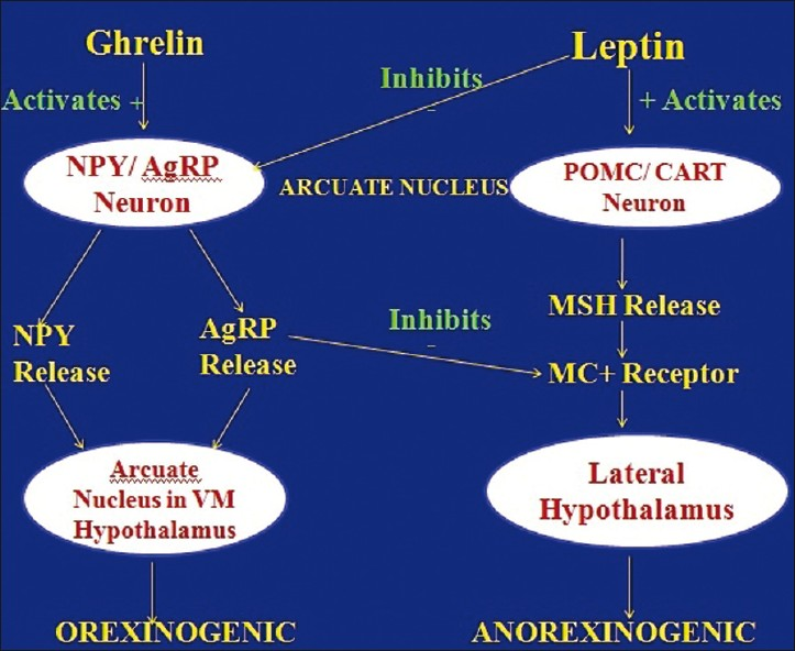 Figure 3: Overview of integrated regulatory pathway NPY- Neuropeptide Y, AgRP- Agouti related peptide, VM- Ventromedial, MSH- Melanocyte stimulating hormone, MC- melanocortin